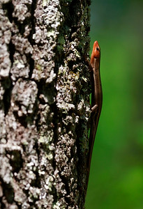 Five-lined Skink
