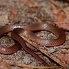 Eastern Worm Snake