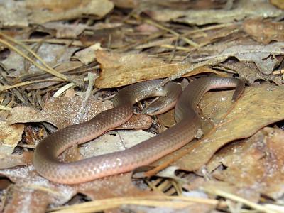 Worm Snake
