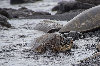 Honu - Green Sea Turtle (Chelonia mynas)