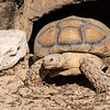 African Spurred Tortoise (Centrochelys sulfate) - CAPTIVE