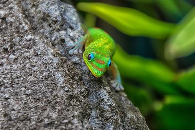Gold Dust Gecko (Phelsuma laticauda)