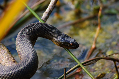 Yellow-bellied Water Snake-157