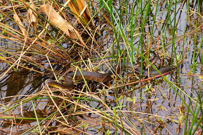 Yellow-bellied Water Snake-102