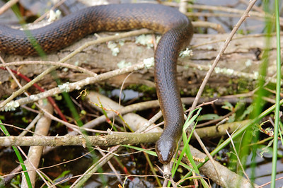 Yellow-bellied Water Snake-114