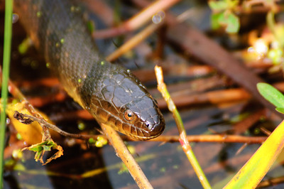 Yellow-bellied Water Snake-103