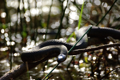 Yellow-bellied Water Snake-140