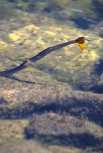 Garter Snake-101