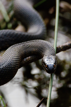 Yellow-bellied Water Snake-166