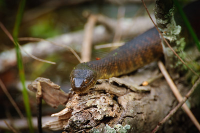 Yellow-bellied Water Snake-134