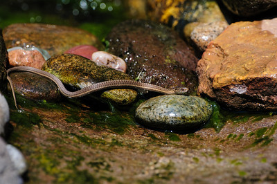 Garter Snake B8570