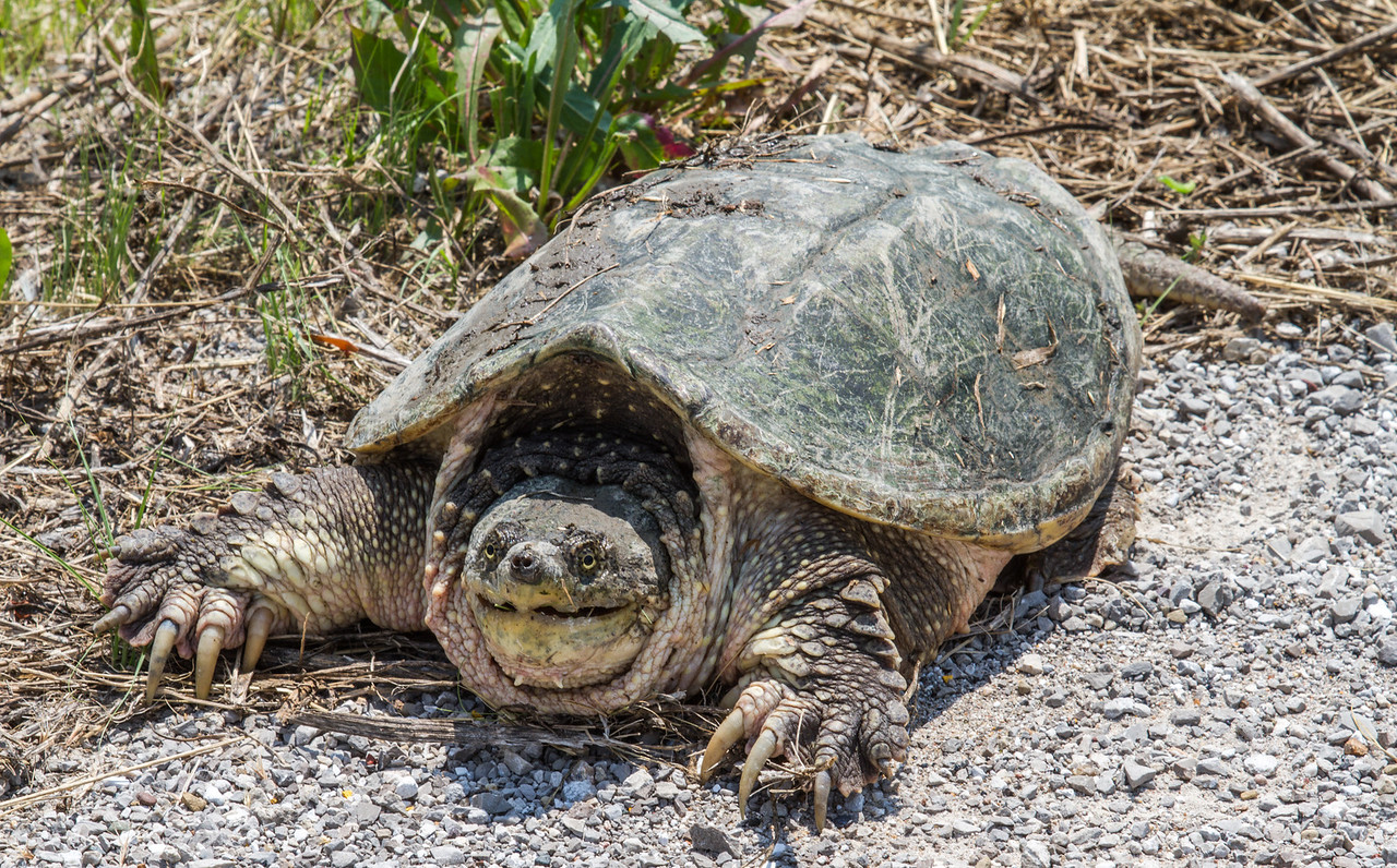 Eastern Snapping Turtle (Common Snapping Turtle). Photo shot in Northeast Missouri near Palmyra. Family: Chelydridae  Order: Testudines