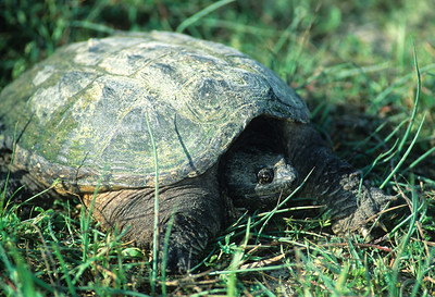 Snapping Turtle 251