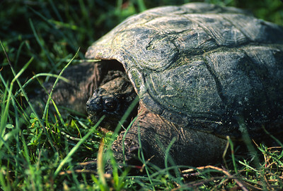 Snapping Turtle 252