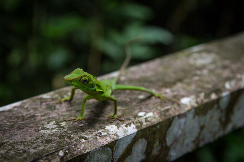 Green Crested Lizard (Bronchocela cristatella). near Niah Caves, Borneo.