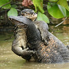 Malayan Water Monitor, sparring males