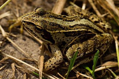 Moor frog (Rana arvalis)
