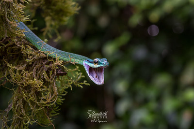 Green parrot snake with attitude