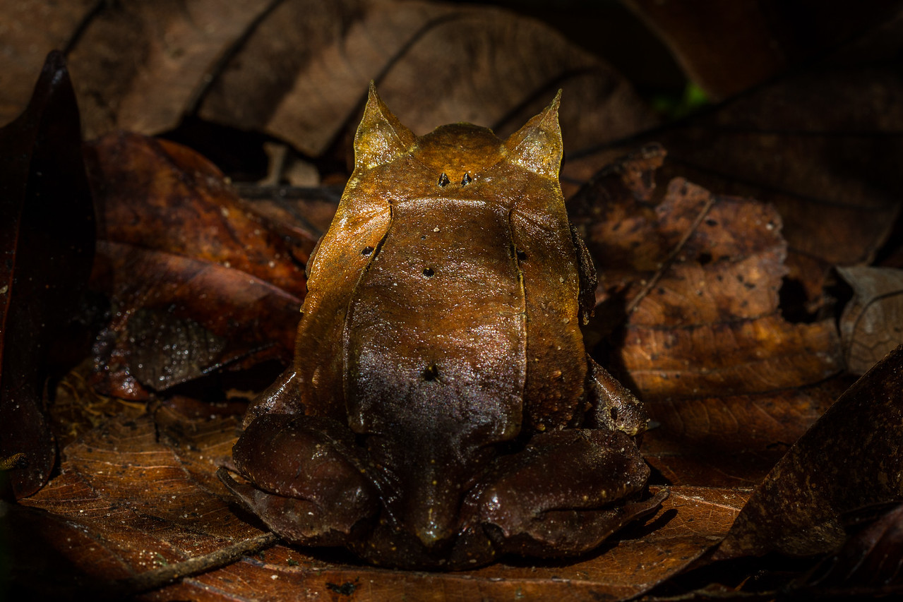 Rear view of Malayan Horned Frog