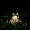 Cane Toad, Australia