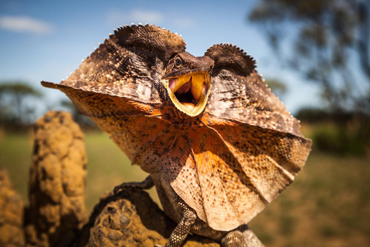 Frill-neck Lizard (Chlamydosaurus kingii), displays on a termite mound. Northern Territory, Australia