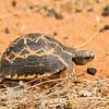 Radiated Tortoise, Astrochelys radiata