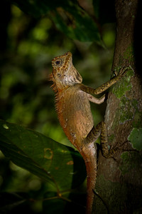 Anglehead Lizard (Gonocephalus borneensis) hiding on a tree in Poring Springs, Borneo.