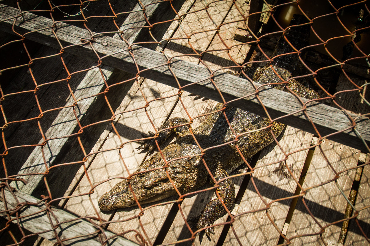 Cross breed between Siamese crocodile and freshwater crocodile, captive. Prek Taol floating village, Tonle Sap, Cambodia.