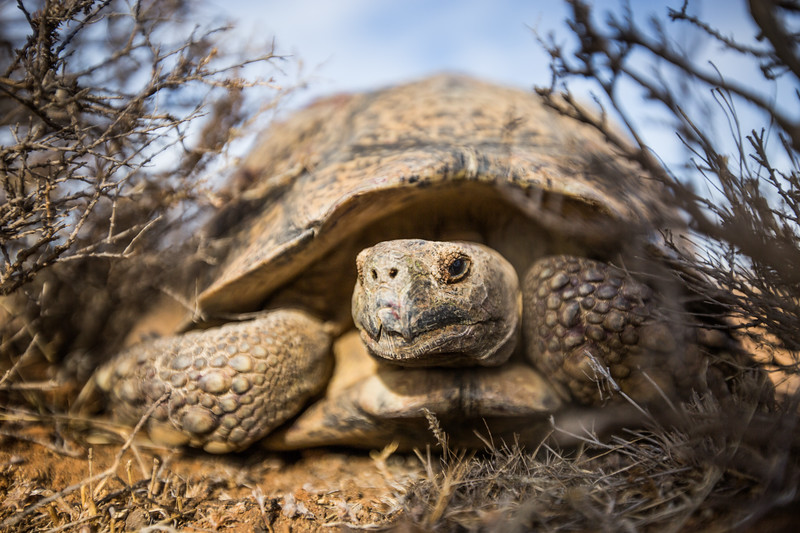 Leopard Tortoises (Stigmochelys pardalis) mating, in the Karoo, South Africa.