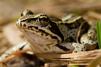 Moor frog portrait (Rana arvalis)