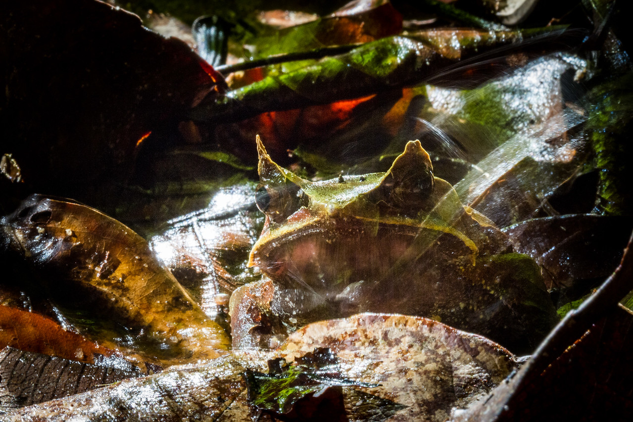 Malayan Horned Frog - mid hop
