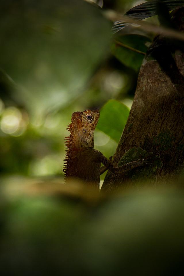 Anglehead Lizard (Gonocephalus borneensis) hiding on a tree in Poring Springs, Borneo.