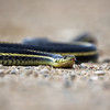 Red-Sided Garter Snake - Manitoba