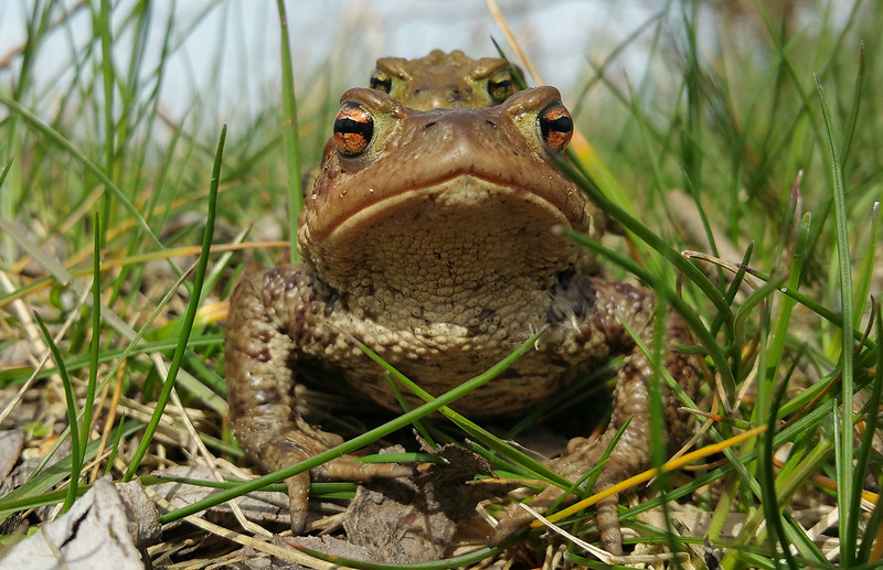 Mating Common toads (Bufo bufo)