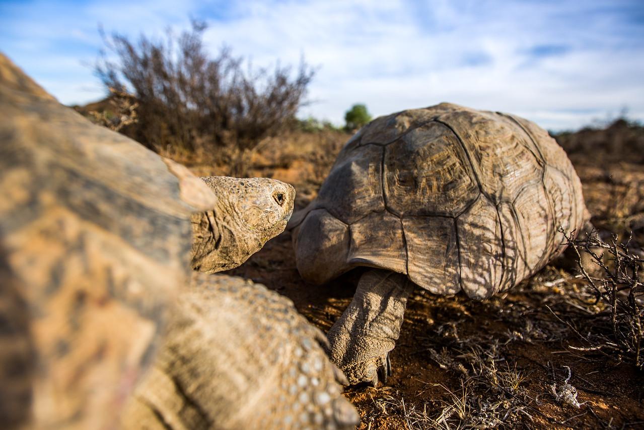Leopard Tortoises (Stigmochelys pardalis) mating, in the Karoo, South Africa.