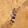 Big-headed Gecko, Paroedura picta