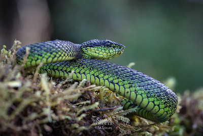 Black speckled palm pit viper