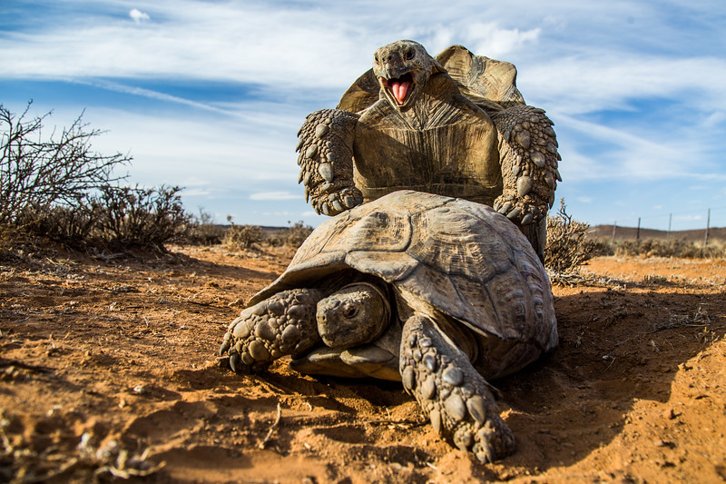 So this happened today! I was in the South African bush setting up a timelapse. Heard grunting from behind a bush. Was met by this shocking sight! Leopard Tortoises loudly mating. #Wildlife #Nature #Mating #Animals #Tortoises #SouthAfrica #Sex #Copulation #EarthOnLocation #BBC