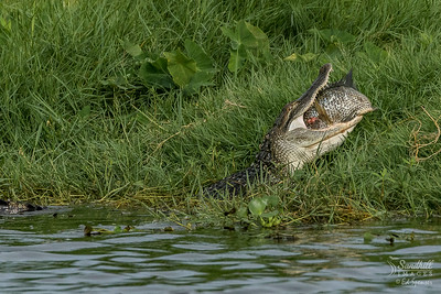 American Alligator with huge fish meal
