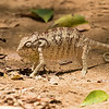 Oustalet's Chameleon, Furcifur oustaleti