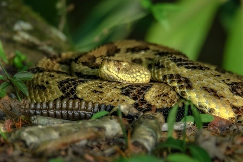 Timber Rattlesnake - Yellow Phase