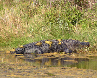 "NAR-111103-01  ""Why So Smug?""  American Alligator, Aransas National Wildlife Refuge, Texas."