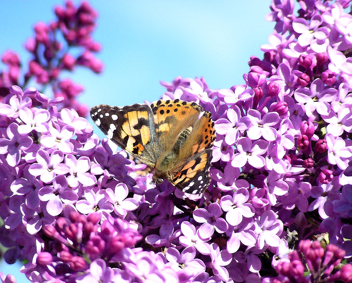 "NAI-040205-05AR  ""Painted Lady Butterfly""  Shingle Springs, California.  ""Art Shots"" look best printed in matte finish."