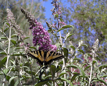 "NAI-061304-01AR ""Tatterwings (Swallowtail Butterfly)""  Shingle Springs, California.  ""Art Shots"" look best printed in matte finish."