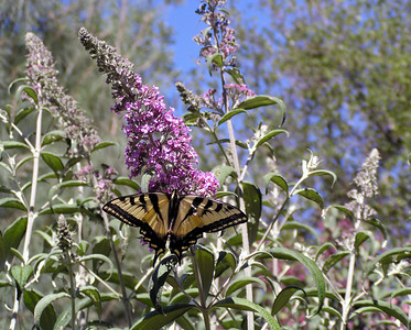 "NAI-061304-01 ""Tatterwings (Swallowtail Butterfly)""  Shingle Springs, California."