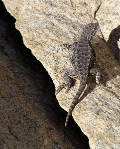 "NAR-070503-03  ""Refugio"" Western Fence Lizard, Ice House Reservoir, California"