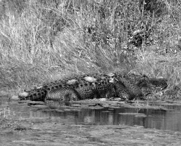 "NAR-111103-01-BW ""Why So Smug?""  American Alligator, Aransas National Wildlife Refuge, Texas."