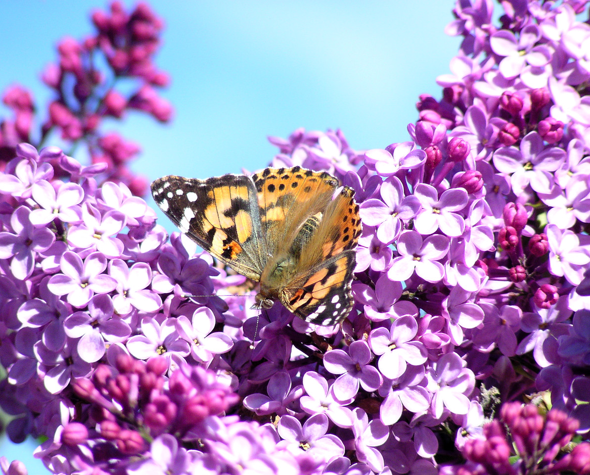 """NAI-040205-05  """"Painted Lady Butterfly""""  Shingle Springs, California."""