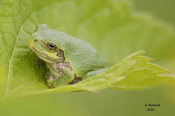Eastern Tree Frog, Hyla versicolor