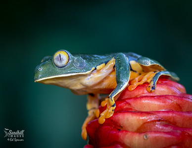 Splendid tree frog